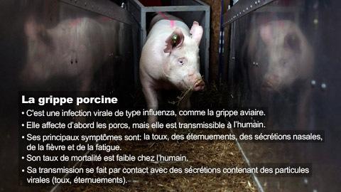 Épidémie de grippe porcine