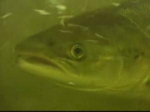 Un saumon de l'Atlantique