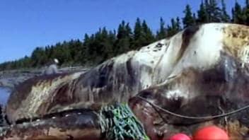 baleine-echouee1