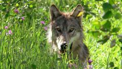 Un loup dans une réserve faunique, au Montana