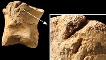 Ossement de T. rex