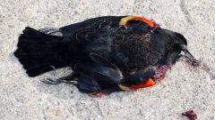 Oiseau mort à Beepe, en Arkansas