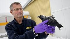 Un employé des services d'urgence du village de Falköping tient la carcasse d'un des oiseaux retrouvés morts dans la petite localité de Suède.