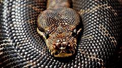 Le python en cavale à Verdun a été localisé
