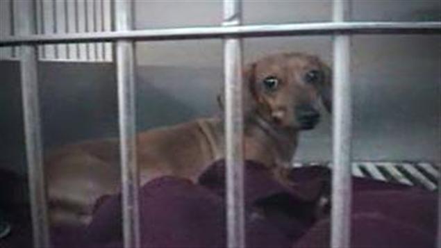 Un chien dans la fourrière privée, le Berger Blanc, filmé en caméra caché.