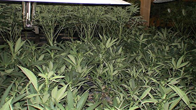 Saisie de marijuana d 39 une valeur de 900 000 ici radio for Plant d une maison