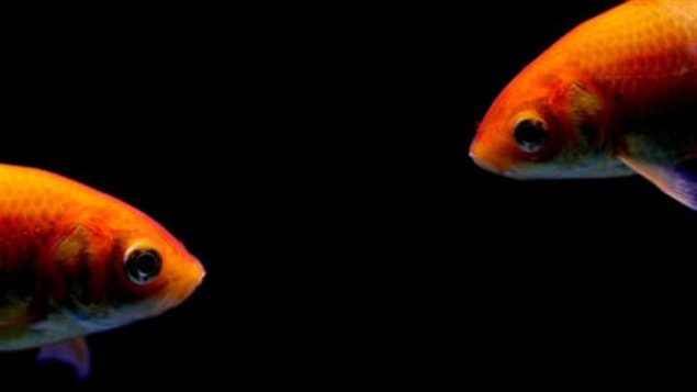Des poissons rouges