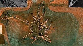 Le fossile d'un archéoptéryx
