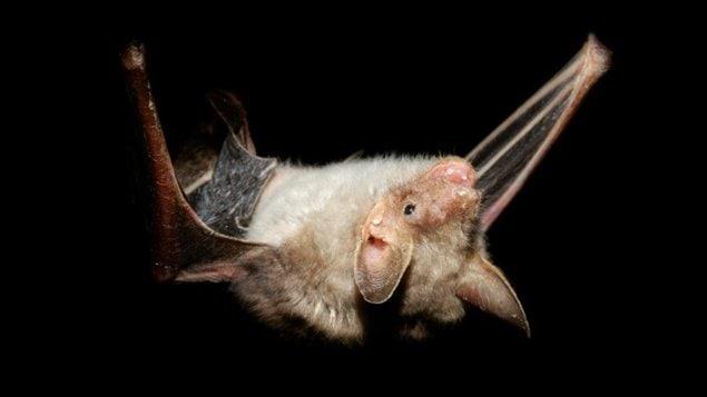 Une chauve-souris vampire
