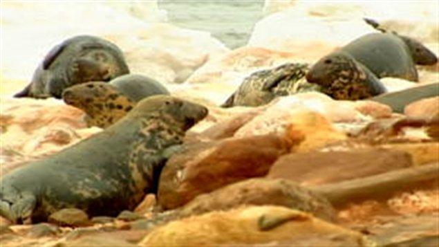 phoques-gris