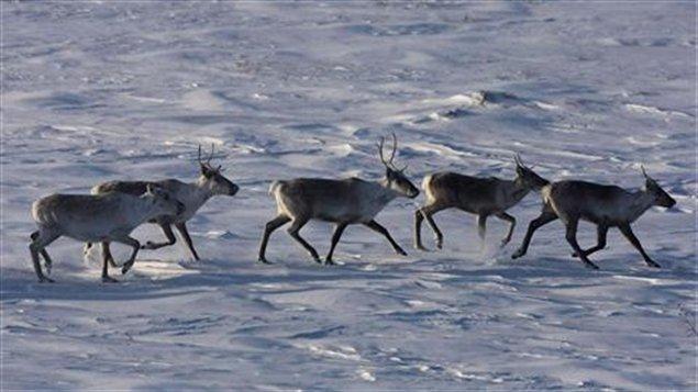 Caribous-nord-troupeau
