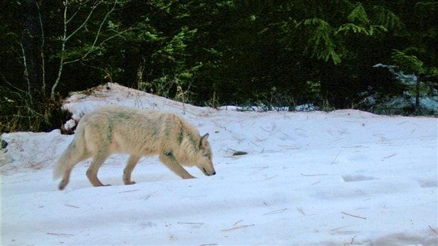 Un loup photographié dans une forêt de l'Orégon.