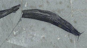 Fosille du Pikaia gracilens en lumière polarisée