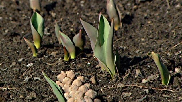 Les tulipes pointent déjà, en raison du temps particulièrement doux.