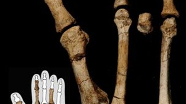 Les ossements fossilisés