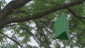 Piège pour détecter la présence de l'agrile du frêne