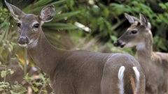 À la «chasse» aux cerfs de Virginie