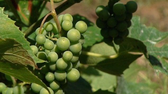 Les raisins du vignoble du Clos Baillie, dans le secteur d'Aylmer à Gatineau
