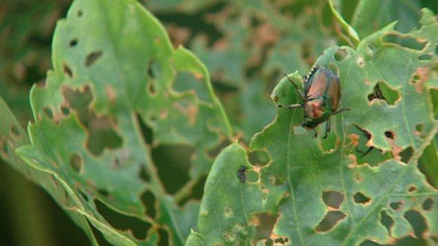 Le scarabée japonais