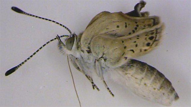 La version mutante d'un papillon Zizeeria maha