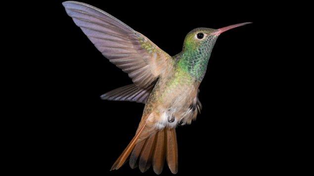À l'heure actuelle, on dénombre près de 330 espèces de colibris.