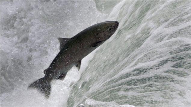Un saumon remonte une rivière en Colombie-Britannique