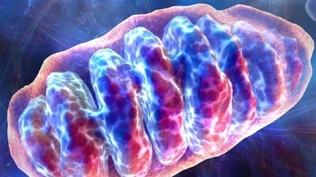La mitochondrie est le lieu de la respiration cellulaire, ou usine énergétique de la cellule