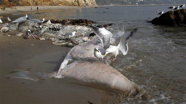 Des goélands sur la carcasse de baleine