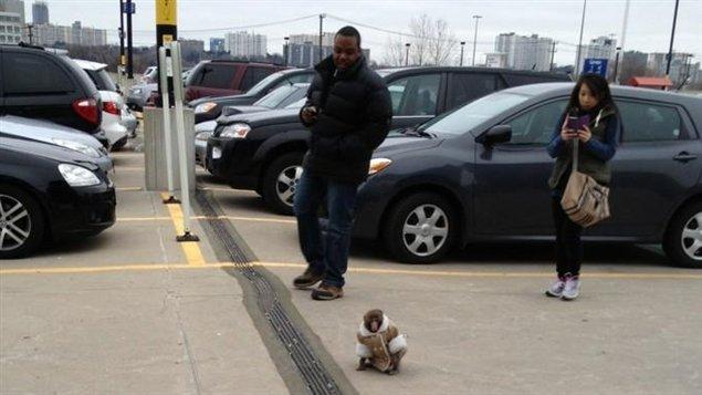 Le singe s'est baladé dans le terrain de stationnement avant d'entrer dans le magasin.