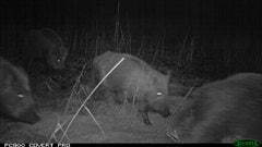 Sangliers captés par une caméra la nuit
