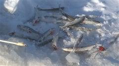 Quelques éperlans, fruits de la pêche blanche sur le Saguenay