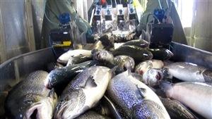 La FDA a également conclu que le saumon OGM est aussi sûr pour la santé que le saumon Atlantique d'élevage.