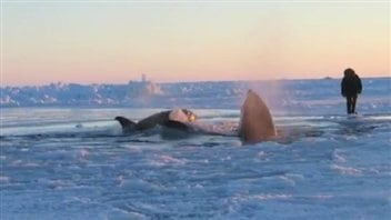 Des orques près d'Inukjuak