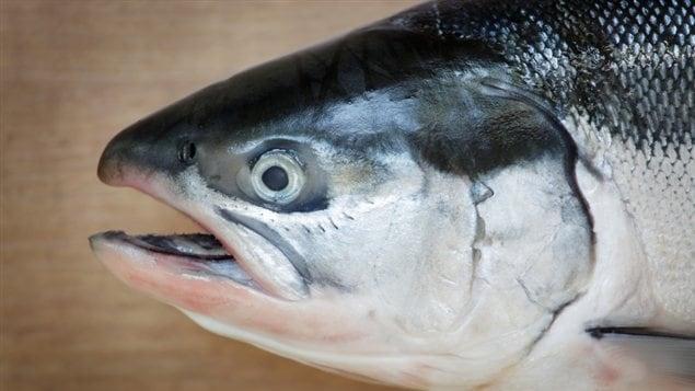 La tête d'un saumon