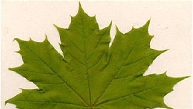 L'érable norvégien est arrivé au Canada au 18e siècle et aurait été importée par un marchand de Philadelphie.