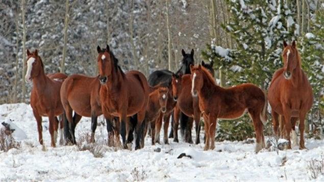 Un groupe albertain revendique la protection des chevaux sauvages.