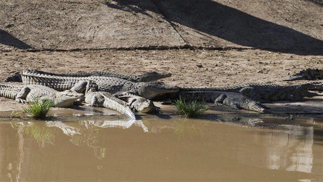Crocodiles en Afrique du Sud