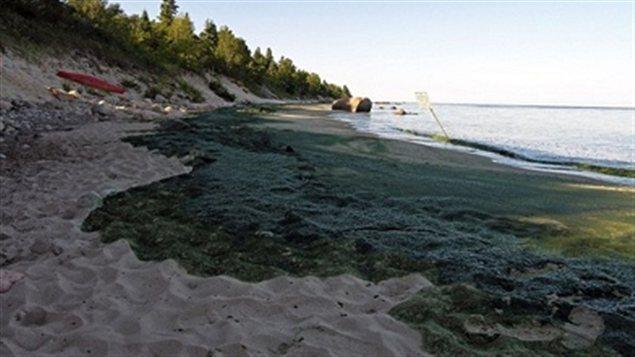 Des algues sur une plage du lac Winnipeg
