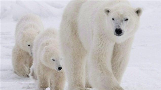 Des ours polaires dans la Baie d'Hudson