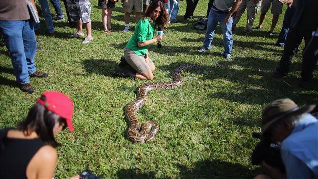 Un pyhton birman exposé au début du défi pyhton en Floride