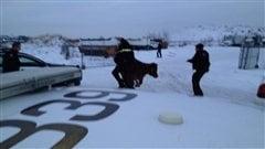 La vache renverse un policier d'Edmonton qui tentait de la capturer.