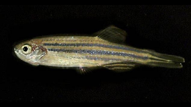 Un poisson-zèbre
