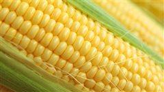 C'est la saison du maïs!