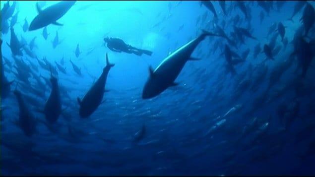 On estime que les stocks de thon rouge de l'ouest de l'Atlantique représentaient en 2010 le quart de ce qu'ils avaient été en 1970.