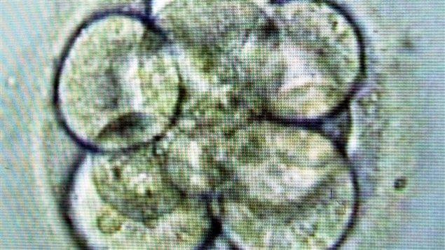 Division cellulaire d'un embryon humain vue au microscope