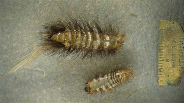 Dépouille larvaire de l'anthrène du tapis.