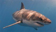 Les requins blancs plus nombreux plus tôt sur la côte est