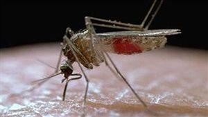 Le premier moustique adulte Culex tarsalis porteur du virus du Nil potentiellement mortel a été identifié au Manitoba.