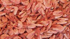 Les pêcheurs de crevettes nordiques aux prises avec des stocks décroissants