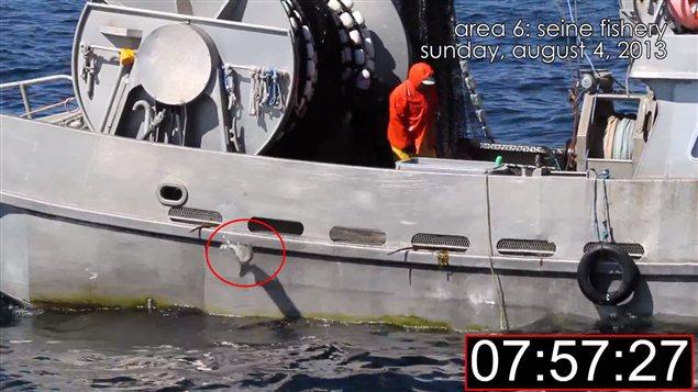 Une image de la vidéo d'un groupe environnemental montrant un saumon rejeté à l'eau après être passé près de 8 min. sur le pont du navire.